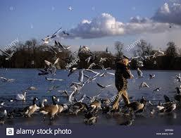 woman feeding birds during the winter in kensington garden pond