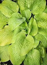 Fragrant Shade Plants - fragrant fire hosta one of the tallest hostas available with its