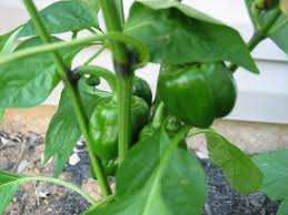 Green Chilli Plant Diseases - pepper plant problems u2013 why pepper plants have black streaks on stem