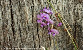 Purple Flower On A Vine - charles and motee rogers bushland reserve purple flowers of the
