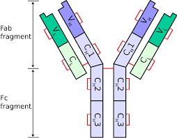 heavy chain light chain immunoglobulin light chain wikipedia