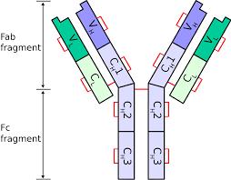 difference between kappa and lambda light chains immunoglobulin light chain wikipedia