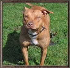 american pitbull terrier merchandise ofr woods sorrells garner american pit bull terrier dog breeders