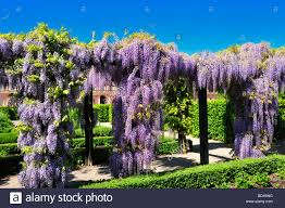 pergola with chinese wisteria wisteria sinensis in the palace