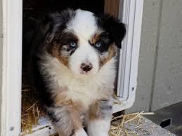 australian shepherd for sale view ad australian shepherd puppy for sale oregon prineville usa