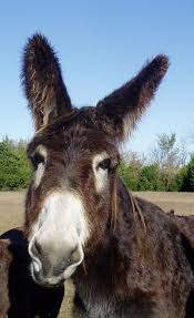 494 best donkey love images on pinterest donkeys horses and