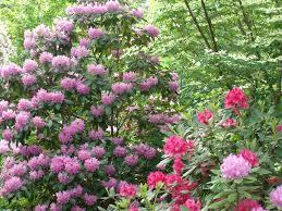 pittosporum mojo google search shrubs evergreen pinterest