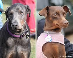 types of american eskimo dogs american eskimo dogs