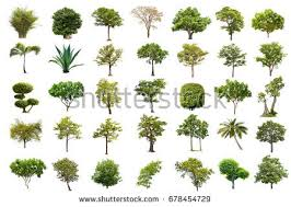isolated tree on white background the stock photo 678454729