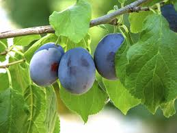 damson plum tree information learn how to grow damson plums