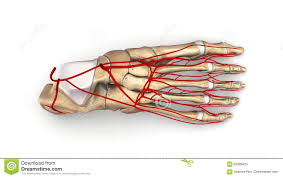 Top Foot Anatomy Foot Bones With Arteries Top View Stock Photo Image 82869425