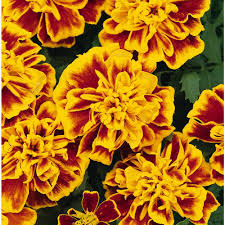Marigolds Shade by 4 In Bi Color Marigold Plant Pack Of 6 Marig4bic6pk The Home