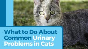 urinary tract infections in cats petmd
