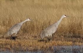 sandhill cranes roads end naturalist