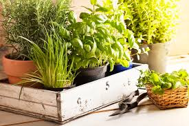 what is an ornamental herb