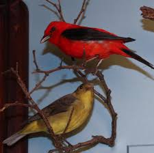 scarlet tanager birds of dc
