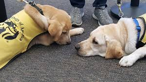 How Does A Guide Dog Help A Blind Person Wpccu On Twitter