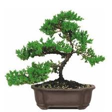 juniper bonsai tree meaning suaitable with juniper bonsai trees