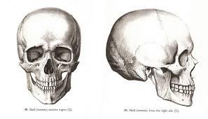 Human Jaw Bone Anatomy Anatomy Organ Pictures Human Skull Anatomy Top Collection