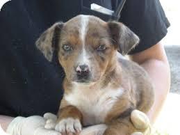 australian shepherd adoption lucy lu adopted puppy simi valley ca dachshund australian