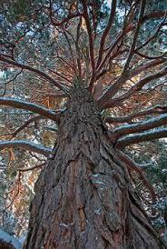 lone scots pine tree pinteres