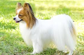papillon personality history and pictures pawculture