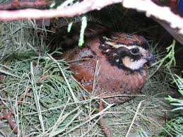 How To Raise Backyard Chickens For Eggs How To Raise Bobwhite Quail Backyard Chickens