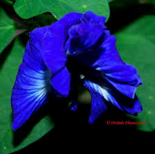 edible blue flowers blue flowers names and pictures orchids flowers image