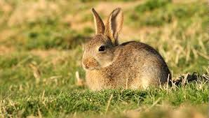cuisiner un lapin de garenne bien connu photo lapin sauvage ne89 montrealeast