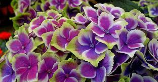 flower hydrangea hydrangea images pixabay free pictures