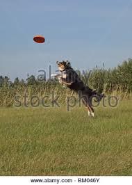 australian shepherd frisbee a dog catching a frisbee stock photo royalty free image 2876076