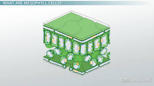 mesophyll cells function u0026 definition video u0026 lesson transcript