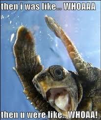 Turtle Meme - organism of the week organism of the week 24 cantor s giant soft