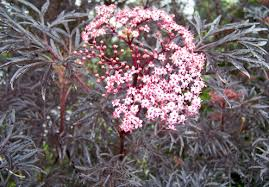 sambucus elderberry
