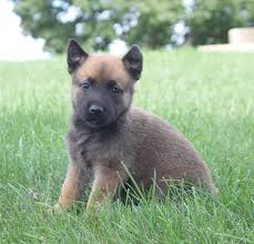 belgian sheepdog craigslist lively german shepherd belgian malinois pups craigspets