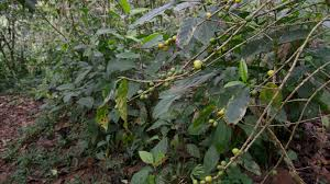 plants native to mexico fair trade coffee a big business but indigenous growers not