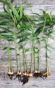 native ginger plant 23 and me my favorite edible plants to grow in shade gardenista