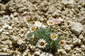 nevada native plants large image for erigeron compactus cushion daisy usda plants