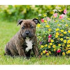 10 best staffordshire bull terrier images on pinterest