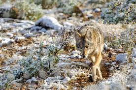 Coyote In My Backyard Coyote Spirit Animal Totem Meaning