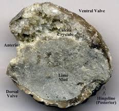 Rock Garden Bellevue by File Platystrophia Ponderosa Fossil Brachiopod With Geopetal