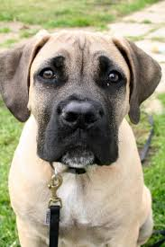 boxer dog growth chart living with your boerboel u2013 the first 6 months my little boerboel