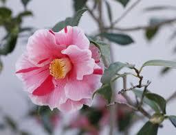 camellia flowers camellia flowers a classic southern shrub