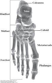 the ankle and foot complex joint structure and function a