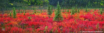 taiga native plants dwarf birch and black spruce taiga outdoors pinterest