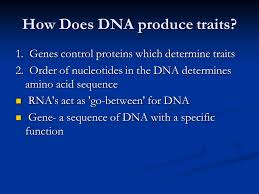 central dogma dna rna protein u2026 which leads to traits