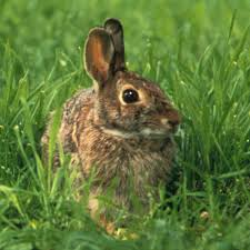 Rabbit Repellent For Gardens by Keeping Rabbits Out Of The Kitchen Garden Vegetable Gardener