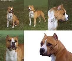 american pitbull terrier akc sierra u0027s braveheart