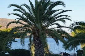 Palm Trees Fruit - free images sea tree fruit summer food mediterranean