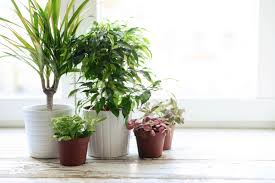 Small Indoor Trees by Growing Plants Indoors 29 Tips For Houseplants Reader U0027s Digest